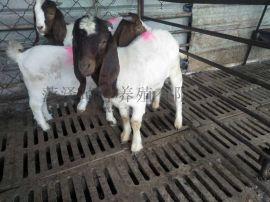 波尔山羊养殖场