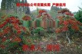 苏州火棘造型树基地 造型红果苗圃  吉祥果满堂红