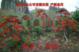 蘇州火棘造型樹基地 造型紅果苗圃  吉祥果滿堂紅