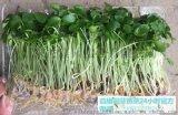 无土方法培育芽苗菜-益康园