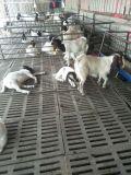 波尔山羊价格 波尔山羊养殖场 波尔山羊肉羊