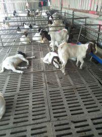 波爾山羊價格 波爾山羊養殖場 波爾山羊肉羊