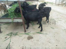 黑山羊養殖  黑山羊哪裏好  黑山羊價格