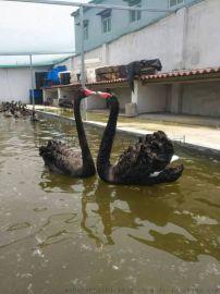 黑天鹅 黑天鹅价格 优质黑天鹅