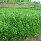 南宁景龙生态 大量批发零售黑麦草草种子