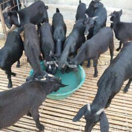 黑山羊養殖場