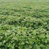 供應脫毒高澱粉紅薯苗