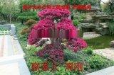 苏州红花继木桩盆景 赤楠盆景 造型景观树种植基地