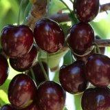 山东平度 嫁接 黑珍珠大樱桃苗 美国车厘子樱桃苗 南方种植新品种