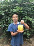 香甜脆嫩的台湾苹果苦瓜