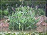 上海哪些适合家庭养的批发水生植物哪里有呢
