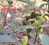 苏州碧螺春、绿茶炒青、江苏省苏州市茶叶、茶树、优质碧螺春茶叶