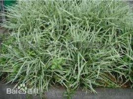 燕麦草提取物Oat Straw Extract