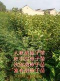 陽豐甜柿苗~陽豐甜柿苗栽培技術=陽豐甜柿子苗