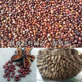 赤芍籽 芍药籽 白芍籽 赤芍种子