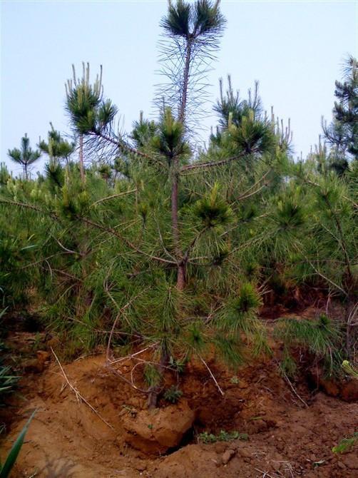 2米油松 2米油松产地 2米油松哪里有卖