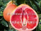 三紅蜜柚苗