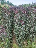 1米紫葉矮櫻小苗產地===大量紫葉矮櫻小苗