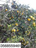 柑桔联系|柑桔代办|柑桔代购|柑橘代办|柑橘代购|柑橘联系