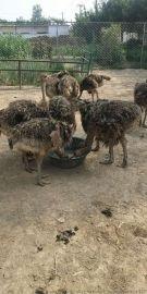 仙农养殖场面向全国出售鸵鸟 鸵鸟苗