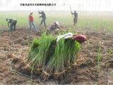 水景工程芦苇苗种植商/耐寒耐旱芦苇苗种植