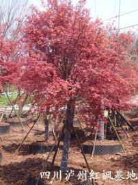 日本红枫;四川日本红枫;泸州日本红枫