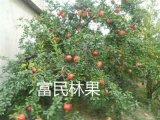 富民軟籽石榴 果園現摘現發新鮮水果