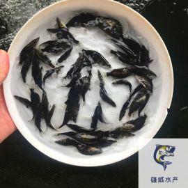 桂花魚苗批發價格鱖魚苗出售桂魚苗大量出售