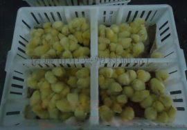专业生产小鸡周转筐,批发周转箱厂家,四格小鸡周转箱