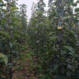 梨树苗 早酥红梨树苗 自产自销 价格优惠