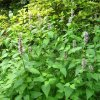 藿香种子 霍香正气香草种孑土藿香山茴香青茎薄荷籽农家蔬菜种子
