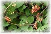 五味子提取物 Schisandra Berries P.E.