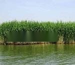 供应山西盐碱地芦苇苗种植技术 专业人员施工种植公司