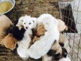 哪裏有賣肉狗苗的養肉狗賺錢嗎 肉狗苗價格