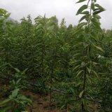出售优质樱桃苗 嫁接苗 2年结果 3年丰产