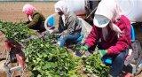 西瓜甜瓜种植机