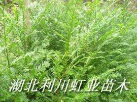 红豆杉苗价格/南方红豆杉苗1米以上