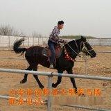 山東大型騎乘馬養殖場