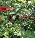 苏桂花树,金桂,银桂,丹桂,四季桂,桂花树批发
