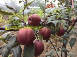 河南梨树苗 梨树苗价格 梨树苗品种有哪些