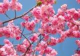 山东晚樱花价格是多少
