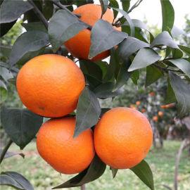 沃柑苗出售 哪里有苗木出售 种植时间
