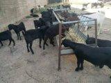 黑山羊價格