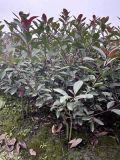 成都紅葉石楠基地名川園藝場供應紅葉石楠毛籠型和綠籬