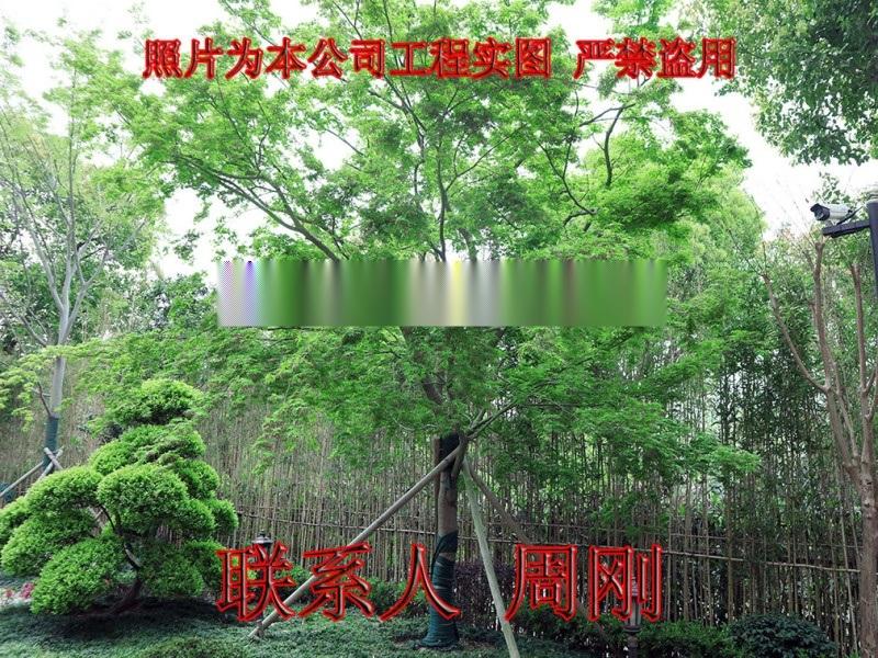 苏州鸡爪槭基地 精品高杆鸡爪槭 庭院高杆小叶青枫