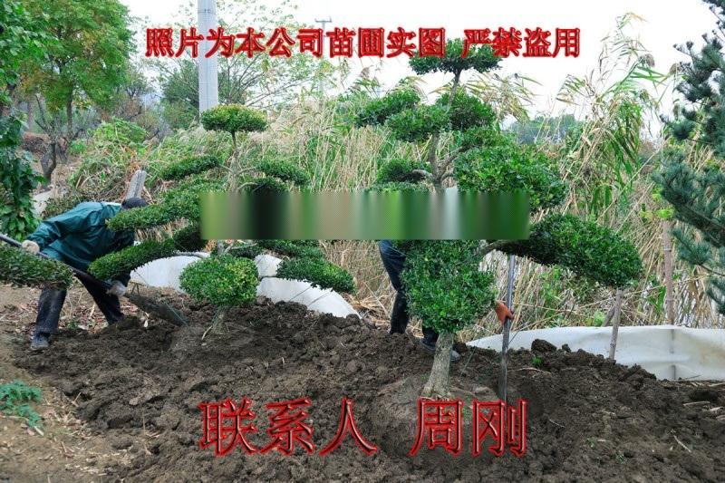 苏州造型小叶黄杨 造型黄杨苗圃基地 庭院别墅绿化