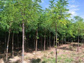 达轩农林大量  速生竹柳,截杆苗,规格齐全质量保证