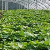預定脫毒紅薯苗-高產高澱粉紅薯苗商薯19