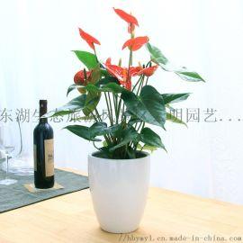 武汉供应大量冬季开花的苗木花卉月季茶花