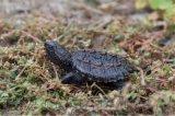 佛鳄龟 杂佛鳄龟苗 杂佛苗 头苗2~3公分黄壳背甲